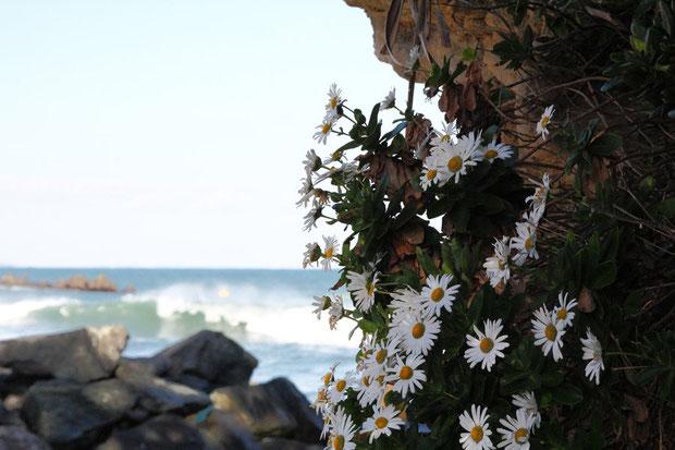 ハマギク (浜菊) キク科  近年、本種のみキク属から独立したハマギク属とされた