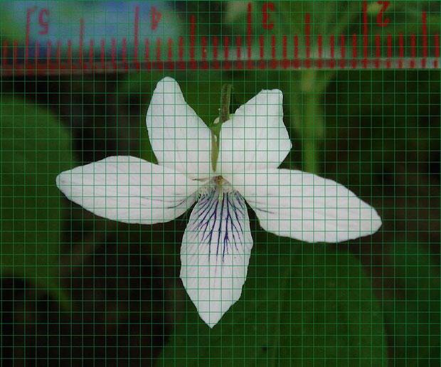 タデスミレの花の左右の幅は約28mm (1メッシュ=約1mm)
