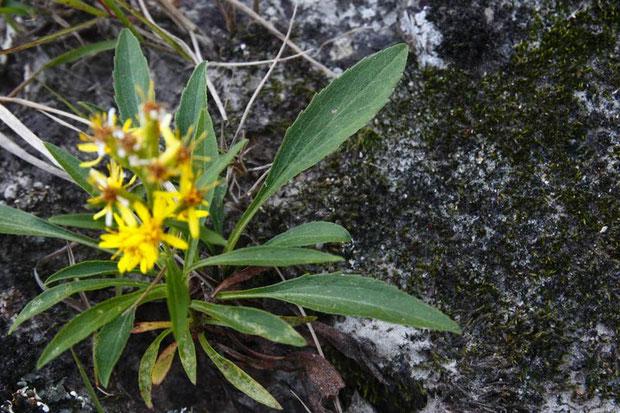 アオヤギバナの葉は長さ4〜7cm程度で、線状披針形