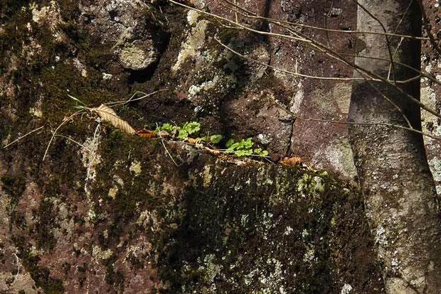 クモイコザクラの葉