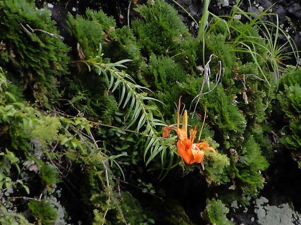 ミヤマスカシユリ  遠くの断崖絶壁に咲く 推定距離100m以上 トリミングしました