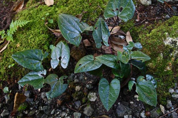 スズカカンアオイ 広卵形の葉が多かった 基部は心形 葉柄が長い 株毎に葉の模様に個性があった