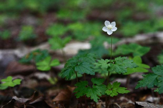 群生はしていませんが、登山道脇や林内にずっと咲いていてくれ、癒やされました。