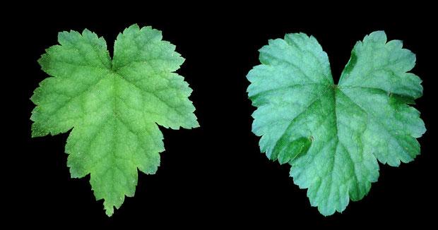 #28 左:コチャルメルソウ、右:キソノコチャルメルソウ