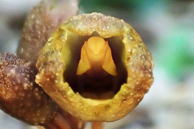 アキザキヤツシロラン  蕊柱が面白い形をしている