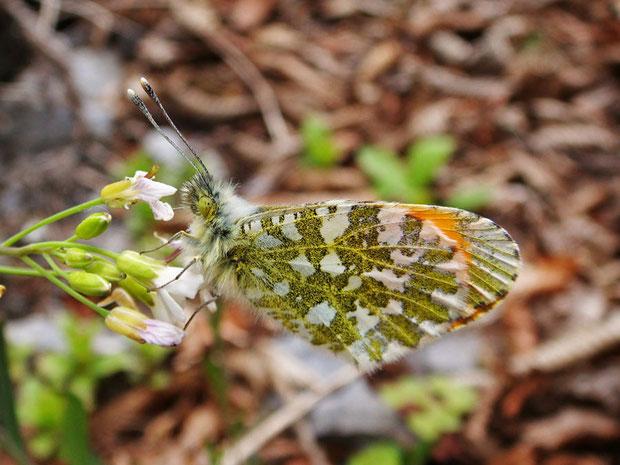 クモマツマキチョウ  でも裏側の唐草模様は♂♀ともにあるそうです。