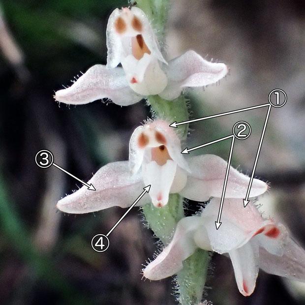 #4 ミヤマウズラの花の構造