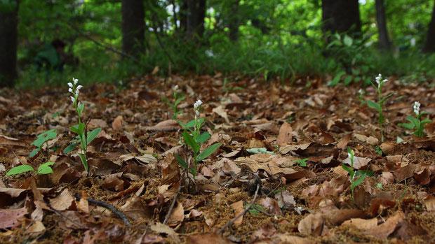 自宅からとても近いのに、一度も来たことがなかった雑木林。 こんなにギンランが咲くとは驚いた