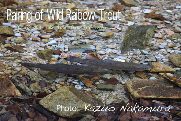 Pairing of Wild Rainbow Trout at Lake Nozori, Gunma Pref. Japan     Oct.29, 2011