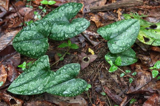 スズカカンアオイ (鈴鹿寒葵) ウマノスズクサ科 カンアオイ属  葉は光沢があり斑紋が入ります