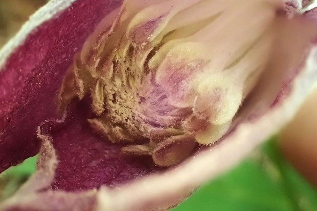 ミヤマハンショウヅル 内部に萼片より短い花弁が十数個並びます。 雄しべはよくわかりませんでした。 花粉がたくさん。