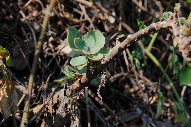 オオチチッパベンケイの茎の下部は木のようになっていました