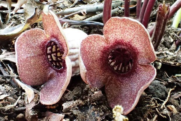 ランヨウアオイの花の正面