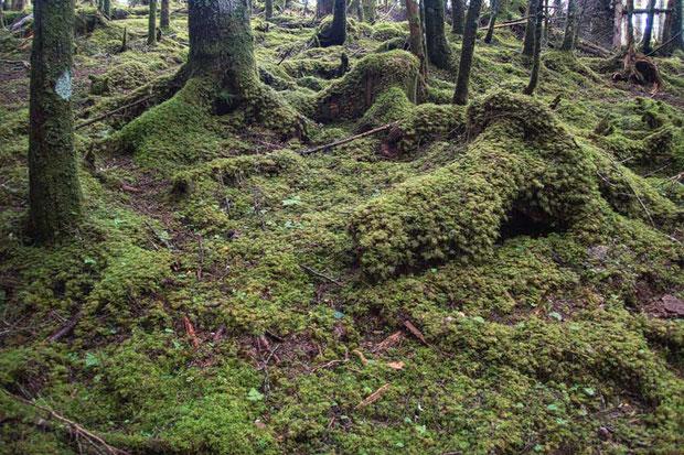 林床は美しいコケに覆われていた。 とても気持ちが良い森林だった