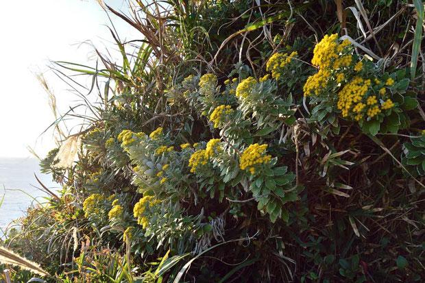 イソギク  海岸の崩れそうな崖にもたくさん咲いていた