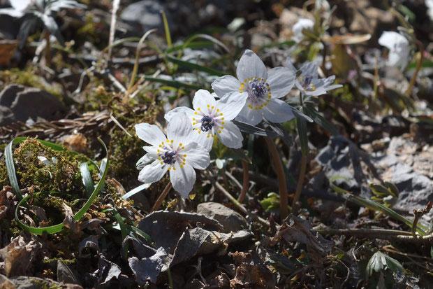 セツブンソウの花は、逆光も、またきれい