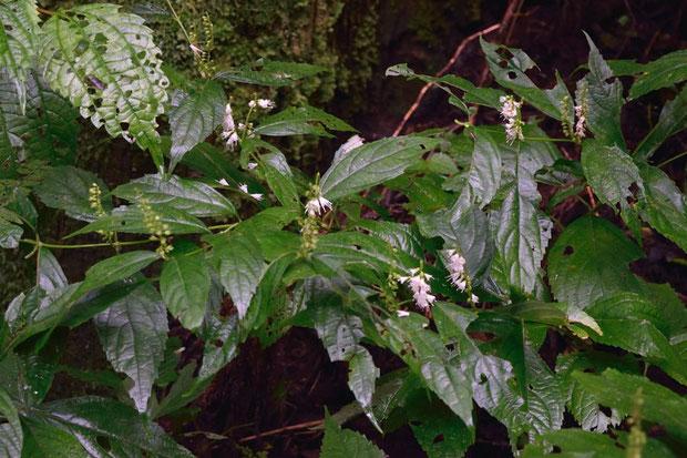 シモバシラ (霜柱) シソ科 シモバシラ属  山頂付近で見たことがあったが、山麓にもいました