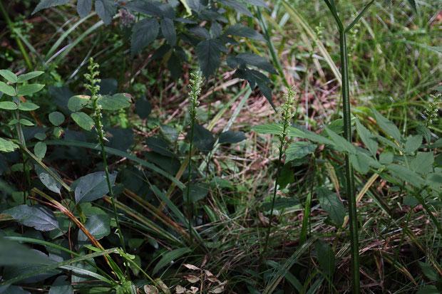 トンボソウ (蜻蛉草) ラン科 トンボソウ属  湿原の中にたくさん咲いていた