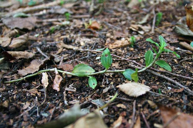 アケボノシュスランの茎の基部は地を這い、上部は斜上します