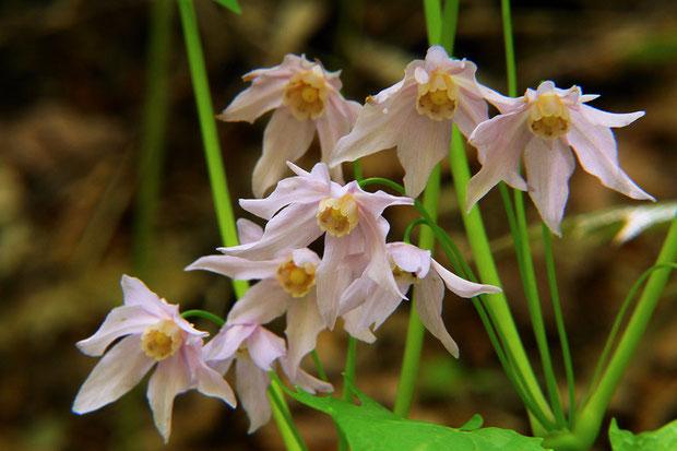 トガクシショウマ Ranzania japonica