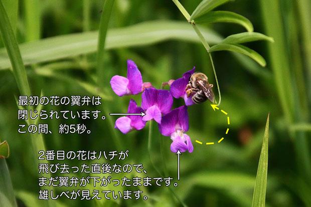 翼弁と竜骨弁は、ハチが離れた瞬間ではなく、数秒後にパッと元に戻ります