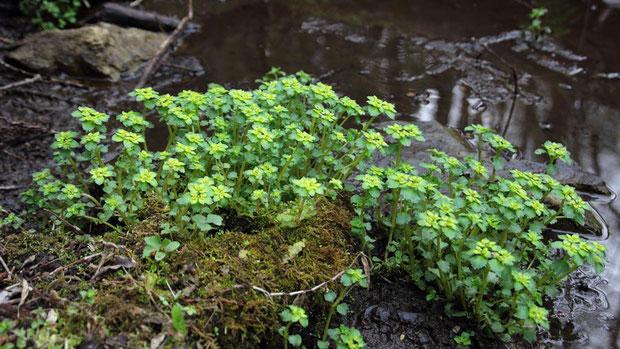 ネコノメソウ (猫の目草) ユキノシタ科 ネコノメソウ属  湿った場所にたくさん咲いていた