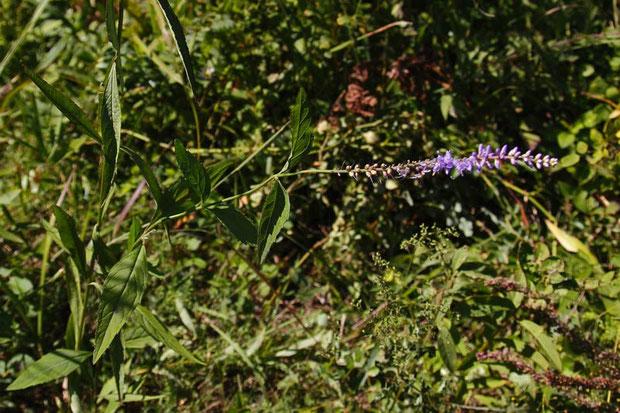 ヒメトラノオ (姫虎の尾) オオバコ科 クワガタソウ属  山地の植物なのだが...