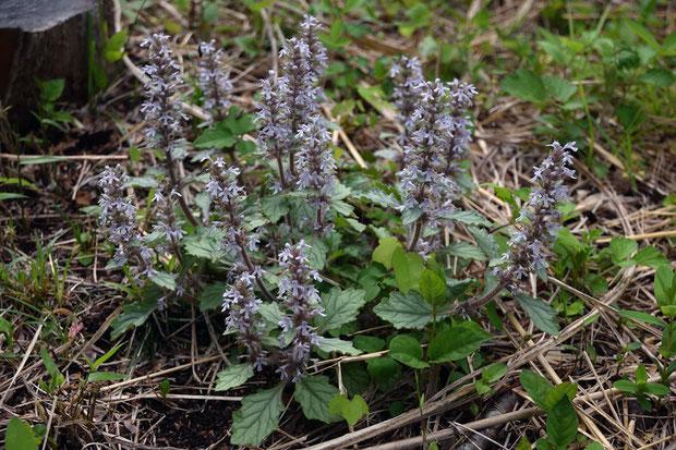 ジュウニヒトエ (十二単) シソ科 キランソウ属  たくさんまとまって咲いていた