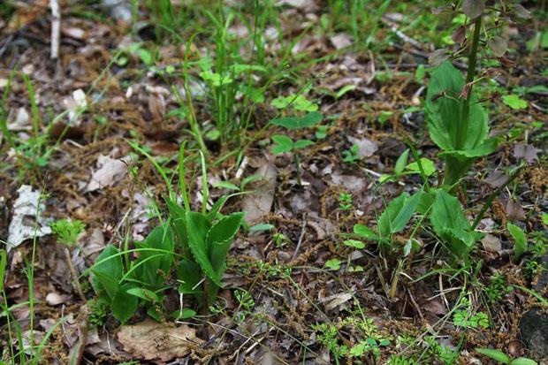 近くには花茎も伸ばしていない幼体がたくさんいました。 全部で14株ほど確認しました。