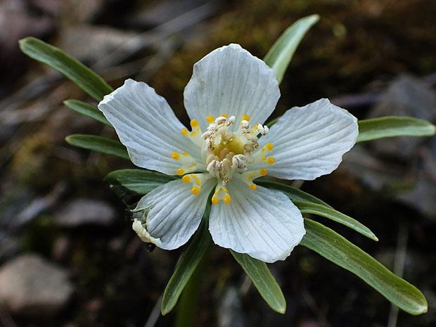 白花のセツブンソウは、葯、花糸、雌しべも薄いクリーム色でした。 葉の色も薄い感じ