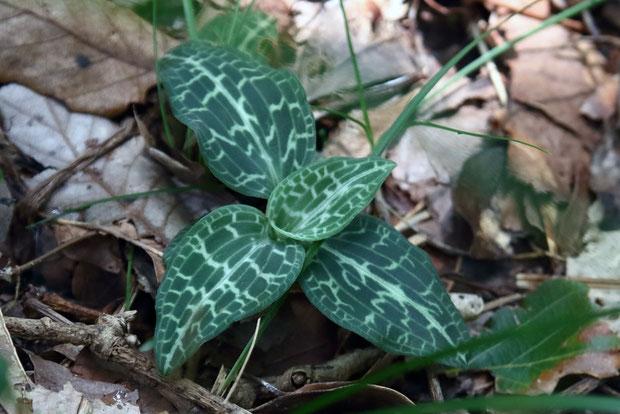 #11 ミヤマウズラの葉の色は、「格調のある青緑色」?