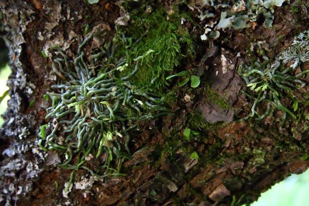 地点Bのクモラン  クモランは放射状に延ばした根で樹幹に着生する。 葉はない。