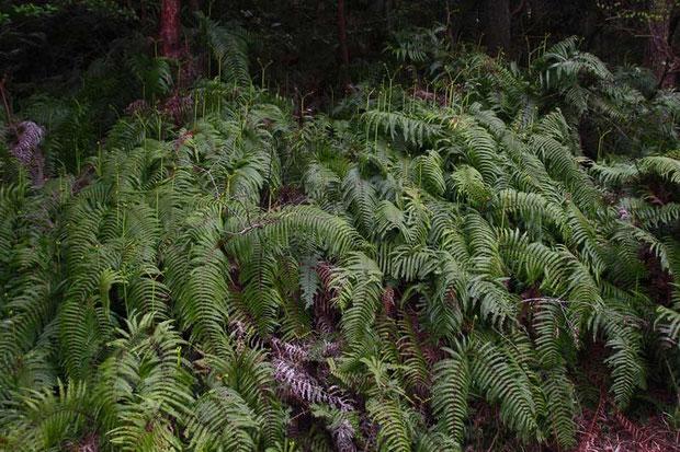 シダ植物のウラジロですね あちこちにたくさん茂っていました