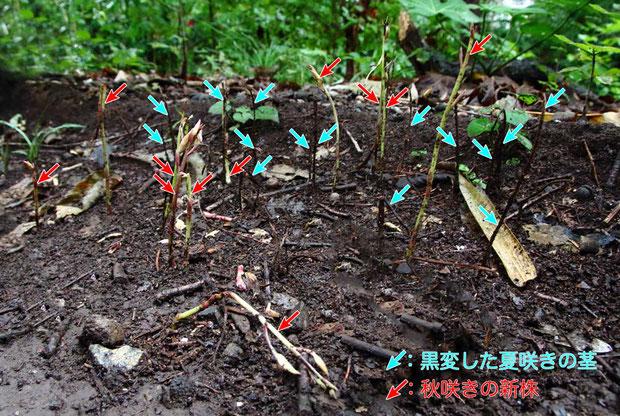 夏咲きが多数発生した場所にも秋咲きが発生した。 夏咲きは、黒変した茎しか残っていない状態。