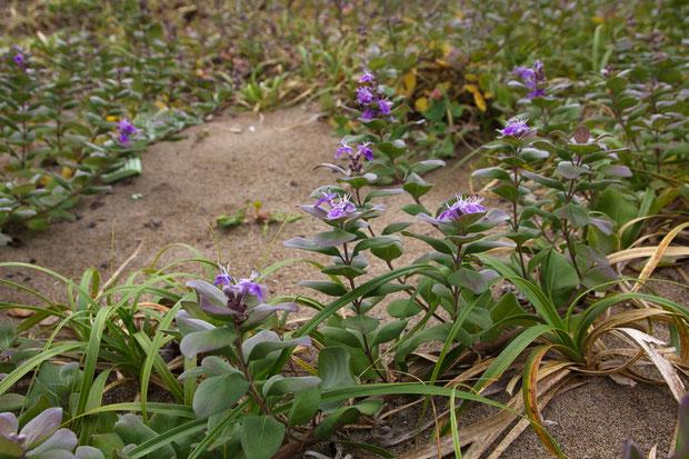 ハマゴウ (浜栲) シソ科 ハマゴウ属  海岸の砂地などに生える落葉低木。 茎は地面を這います