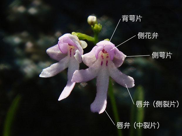 コアニチドリ 花の正面と各部の名称