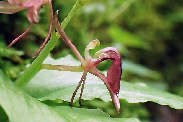 フガクスズムシソウの花の横顔 唇弁が大きく屈曲していて、スズムシソウよりクモキリソウに似ている