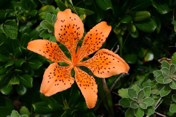 花被片の間に隙間があり透けて先が見えることがスカシユリの名の由来。 他の地域のものより隙間が広く見えた