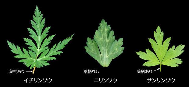 #7 サンリンソウとイチリンソウ・ニリンソウの茎葉の比較