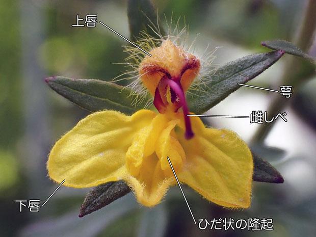 ヒキヨモギの花の構造(上唇、下唇、雌しべ、萼)