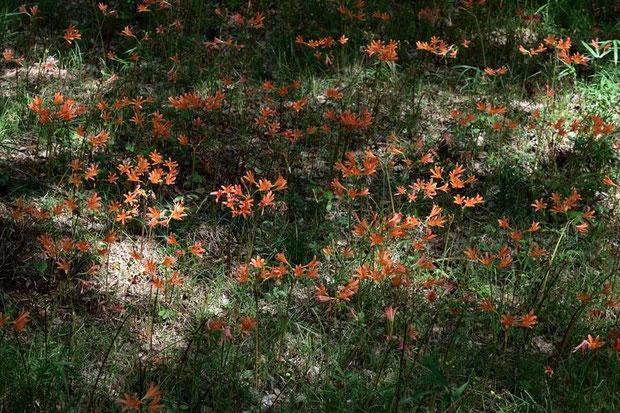 木漏れ日の下に咲くキツネノカミソリ