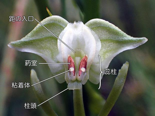 ミズトンボの花の構造 正面2(蕊柱、距の入口、葯室、柱頭、粘着体)