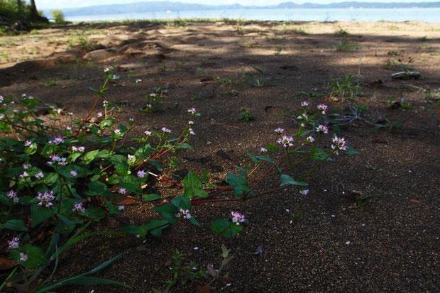 湖畔に咲くミゾソバ
