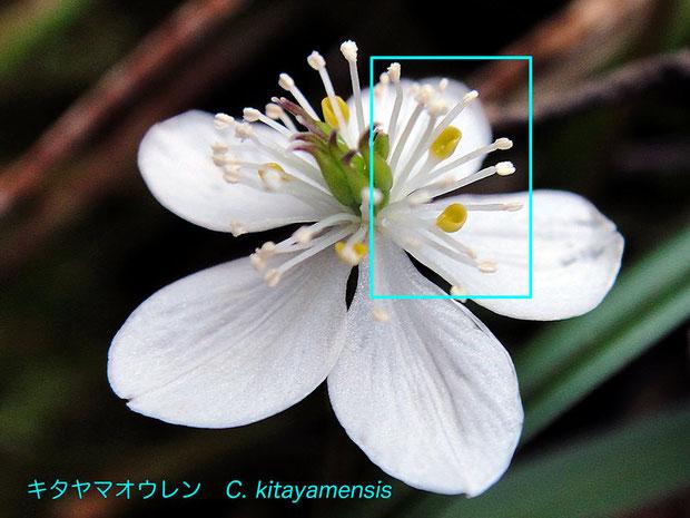 #9 キタヤマオウレンの花  花弁舷部の形状に注目して下さい