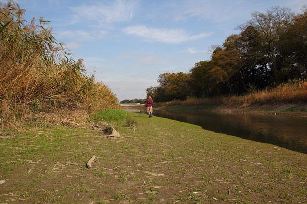 行田市のキタミソウ自生地  このような環境が減ったことが数を減らしている原因のようです