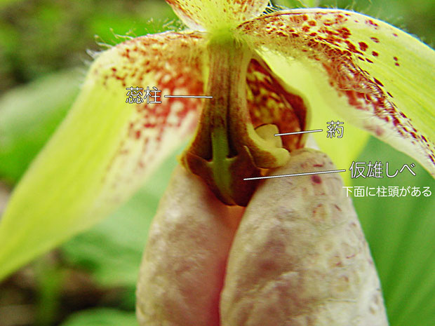 クマガイソウの花の構造(蕊柱、葯、仮雄しべ、柱頭) 2004.04.17 埼玉県