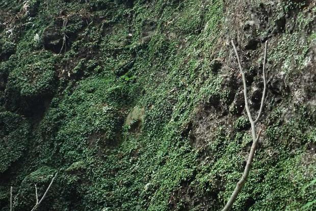 ものすごい数のマメヅタランが!  と思ったらマメヅタでした。 マメヅタにしても見事な大群生