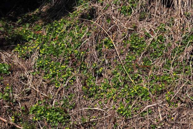 オオバキスミレ (大葉黄菫) キスミレ類  こんな群生が行けども行けども続く地域があった