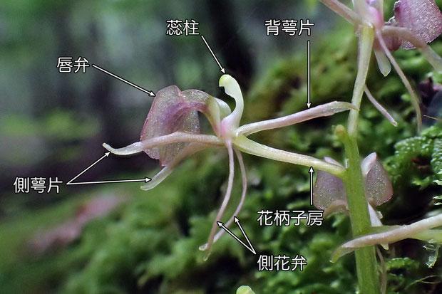 #6 フガクスズムシソウの花の側面 - 1