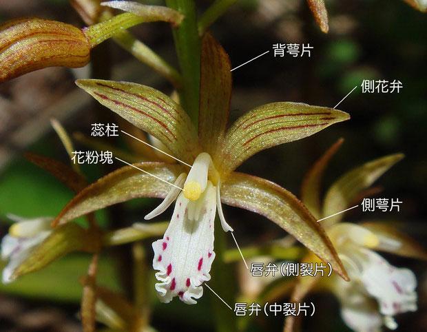 コケイランの花の構造 2007.06.23 群馬県 野反湖